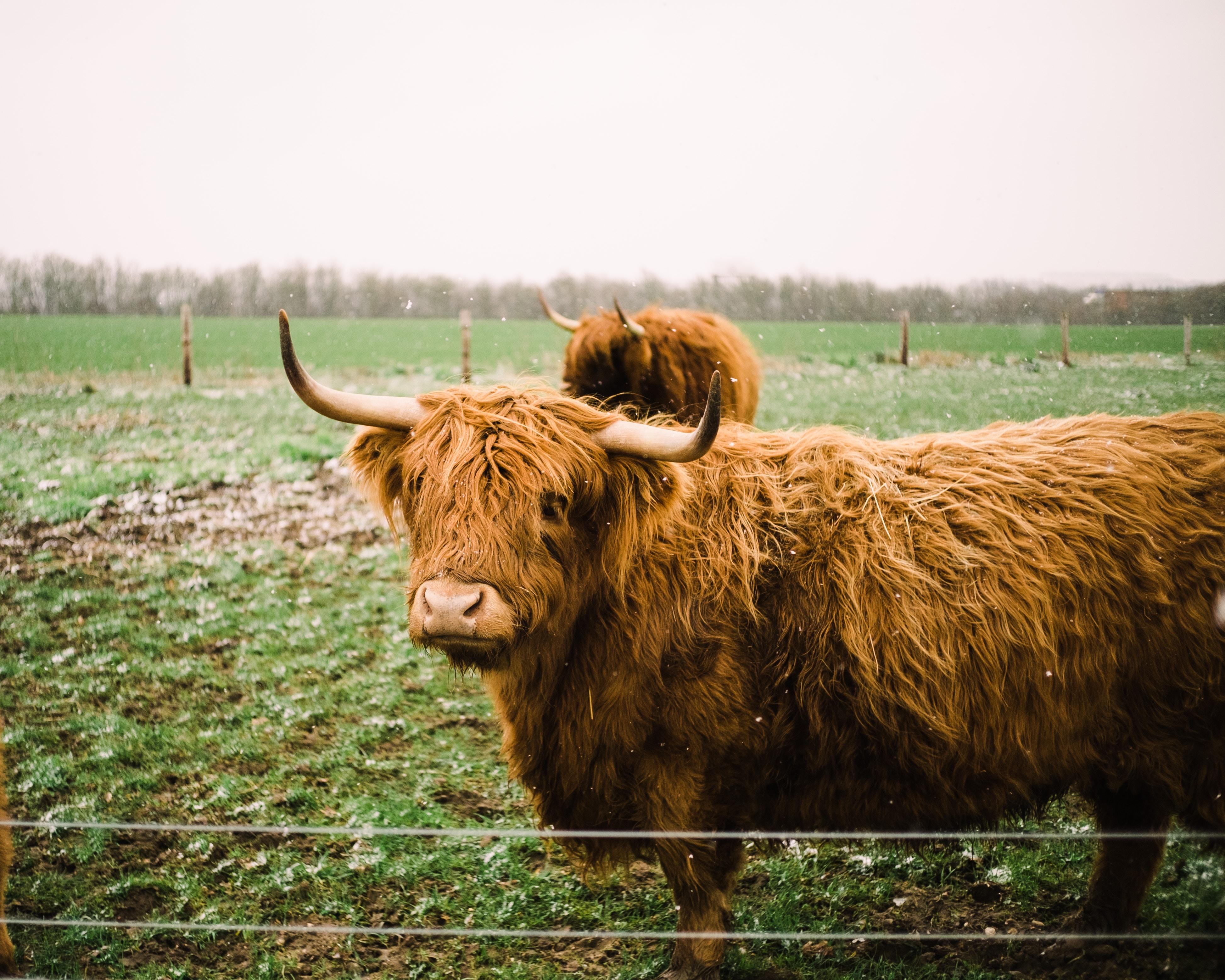 buffalo on green field