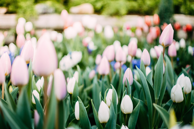 photo of white tulips flower