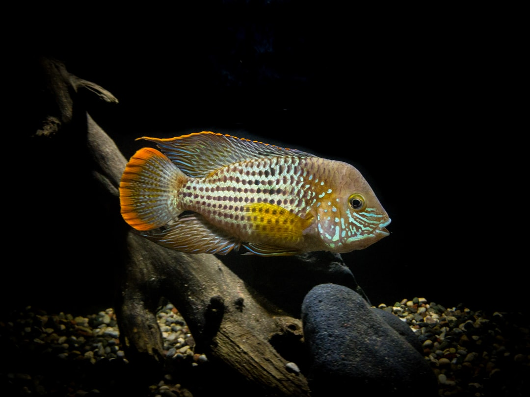 One of my favorite American Cichlid.