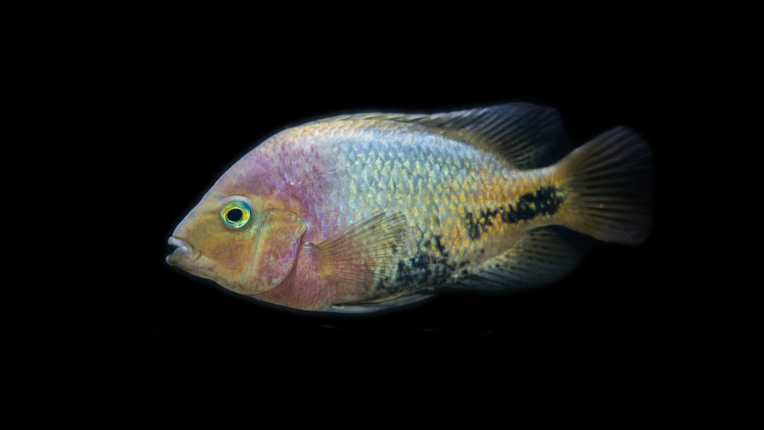 This is a Vieja Cichlid, with its beautiful colors.