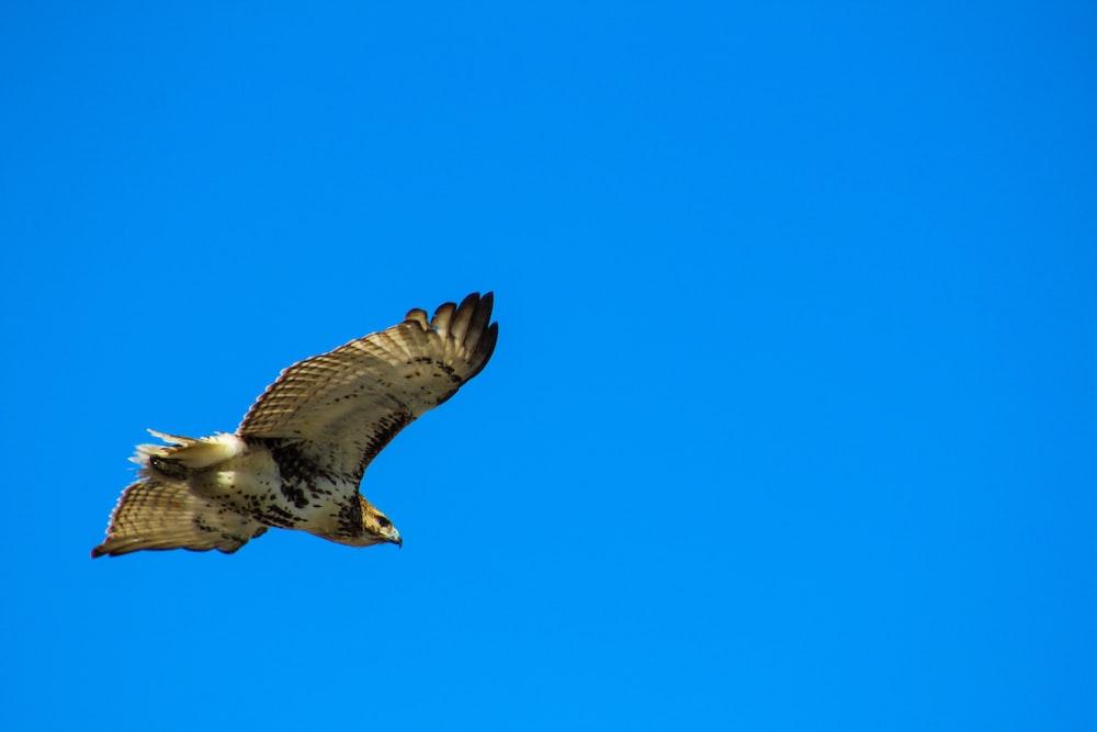 brown hawk flying under blue sky