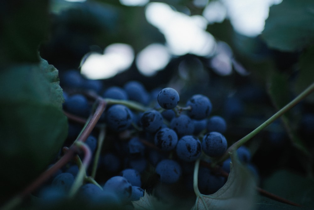 close-up photography of purple grape fruits