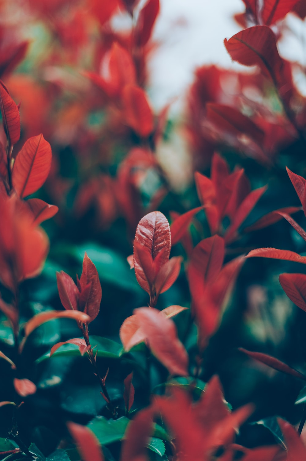 selective focus photography of red leafed plant