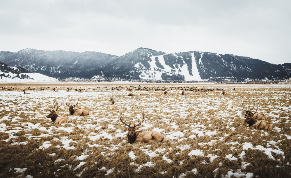 herd of deer on grass field near glacier mountains at daytime