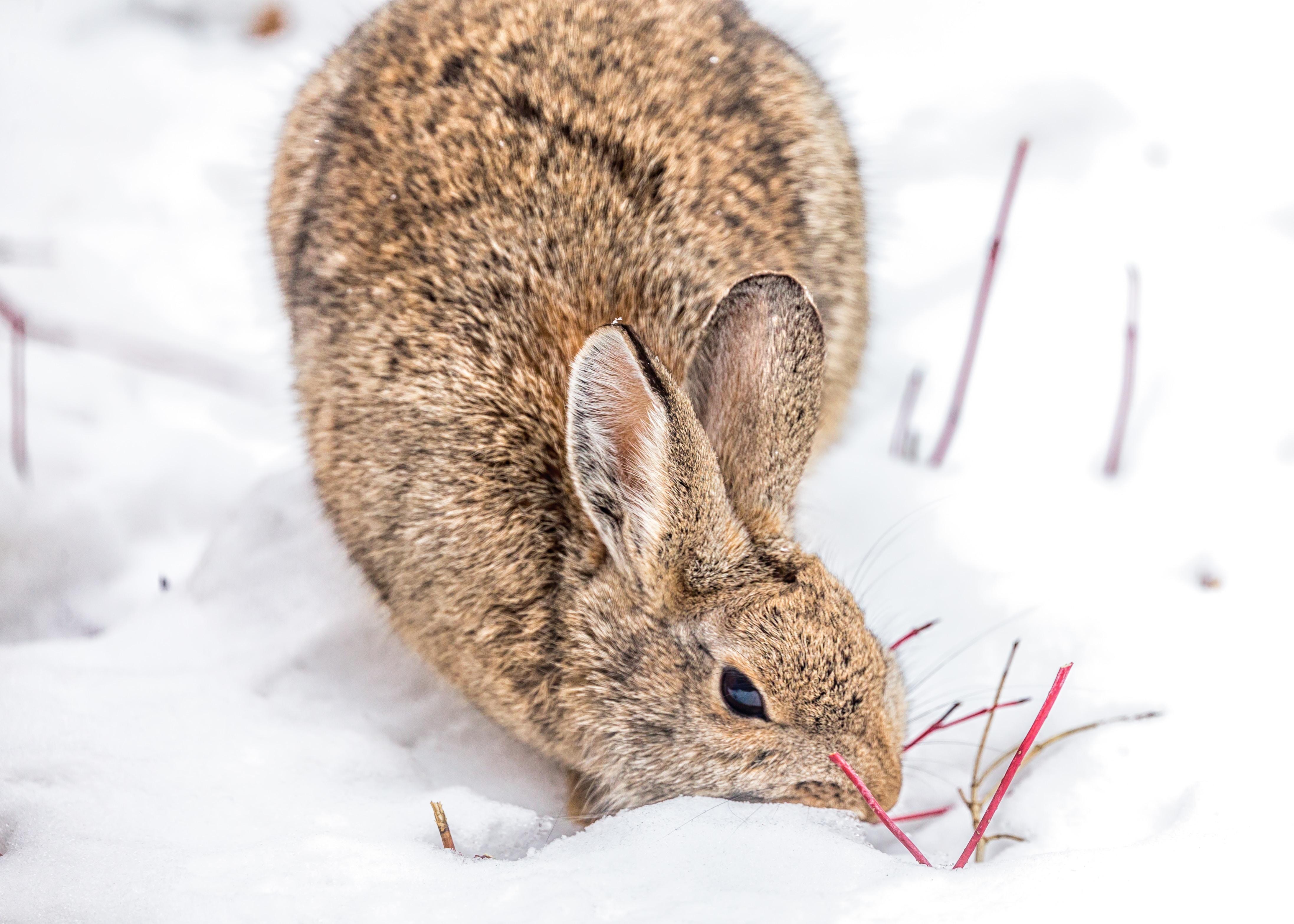 brown rabbit on snow field