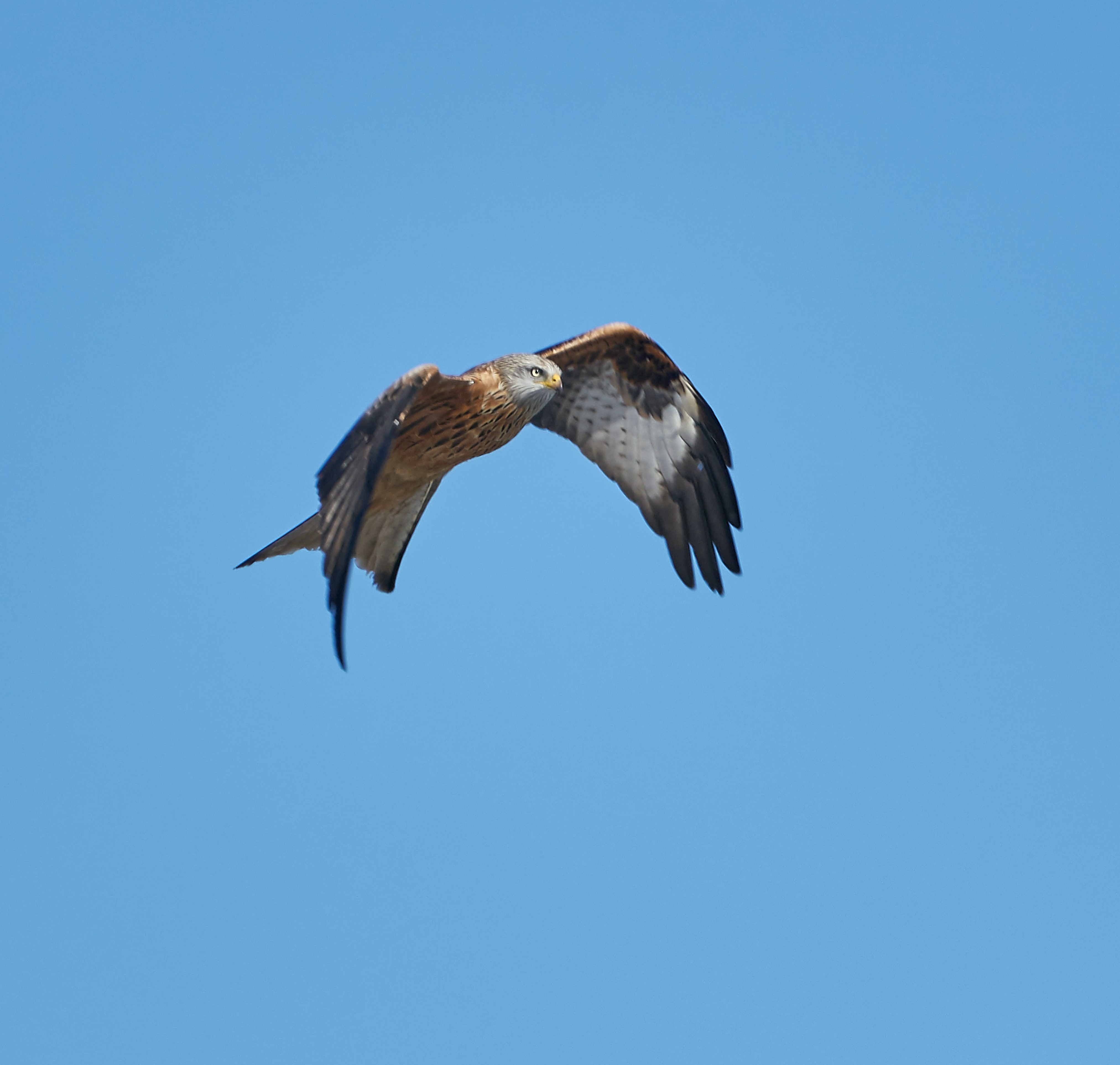 brown and black eagle in flight against blue background