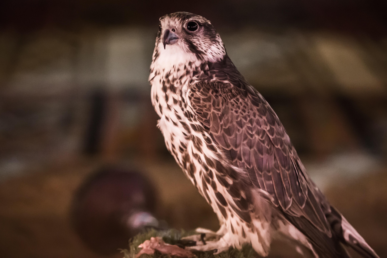 shallow focus photography of hawk