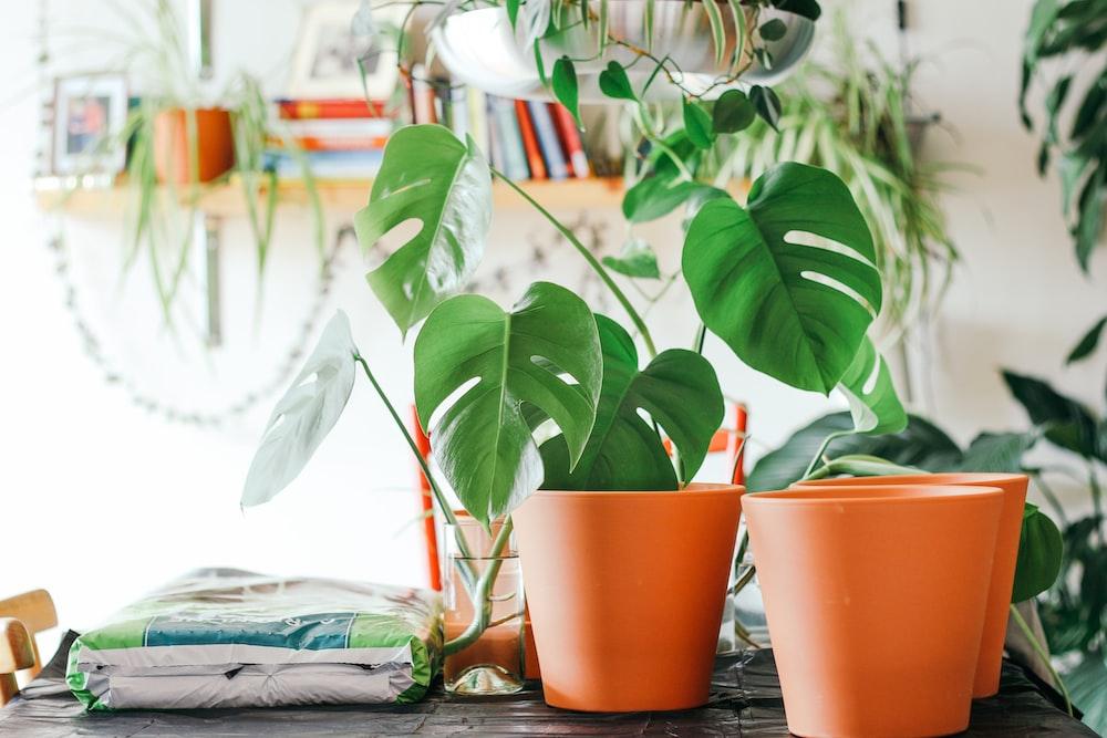 elephant plant on orange plastic pot