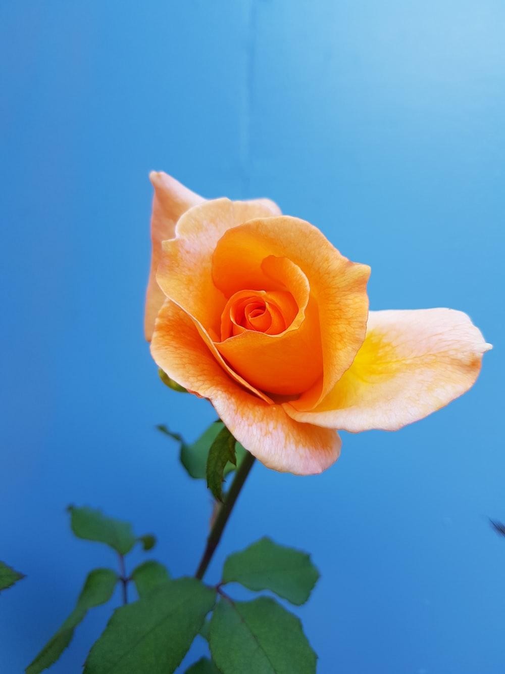 Single Flower Pictures Download Free Images On Unsplash