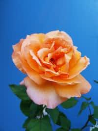 Orange Rose rose stories