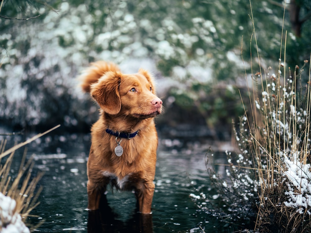 short-coated brown dog on body of water