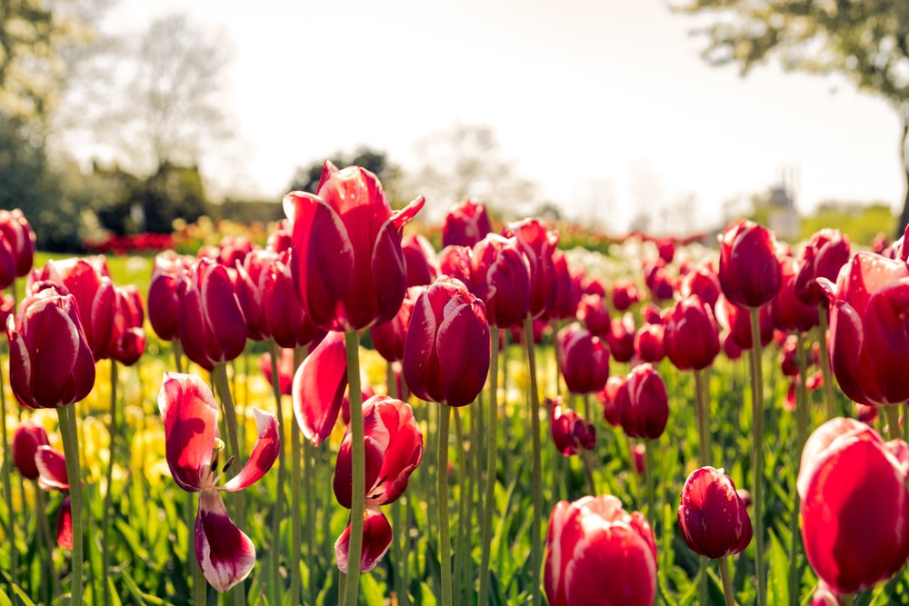 bed of pink tulips during daytime