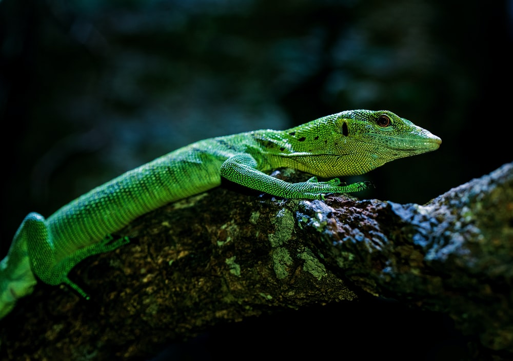 wildlife photography of green reptile