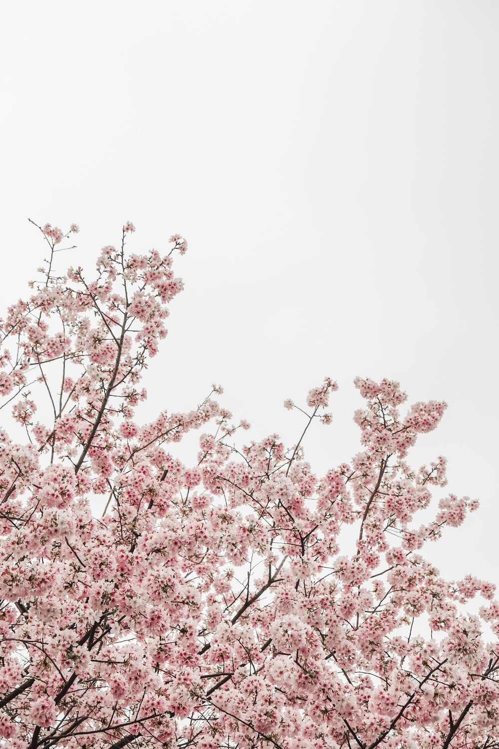 worm's eye view photography of pink cheery blossom tree