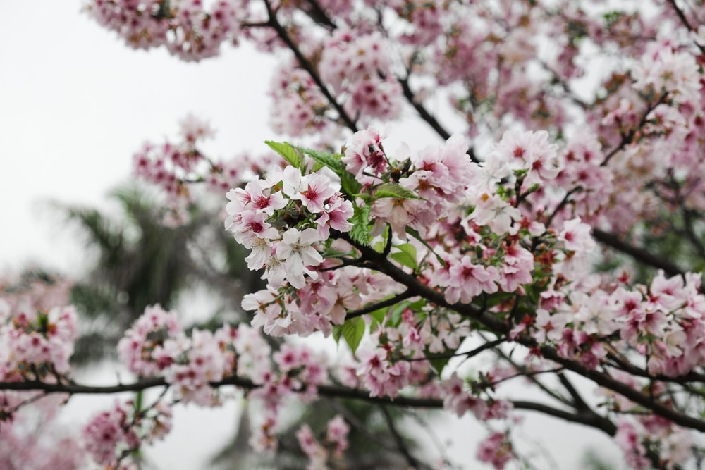 cherry blossom tree in selective focus photography
