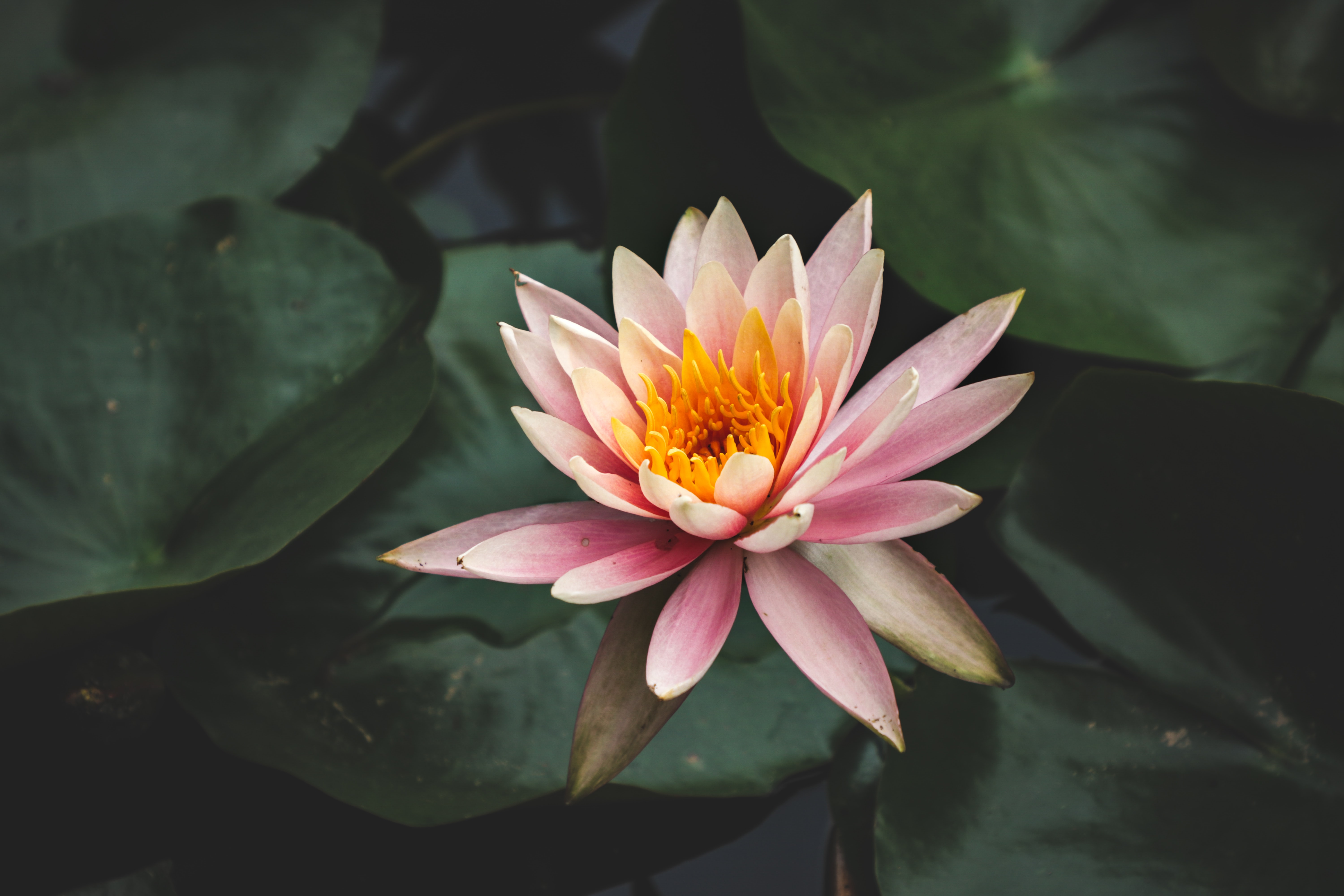selective focus photography of water lily flower