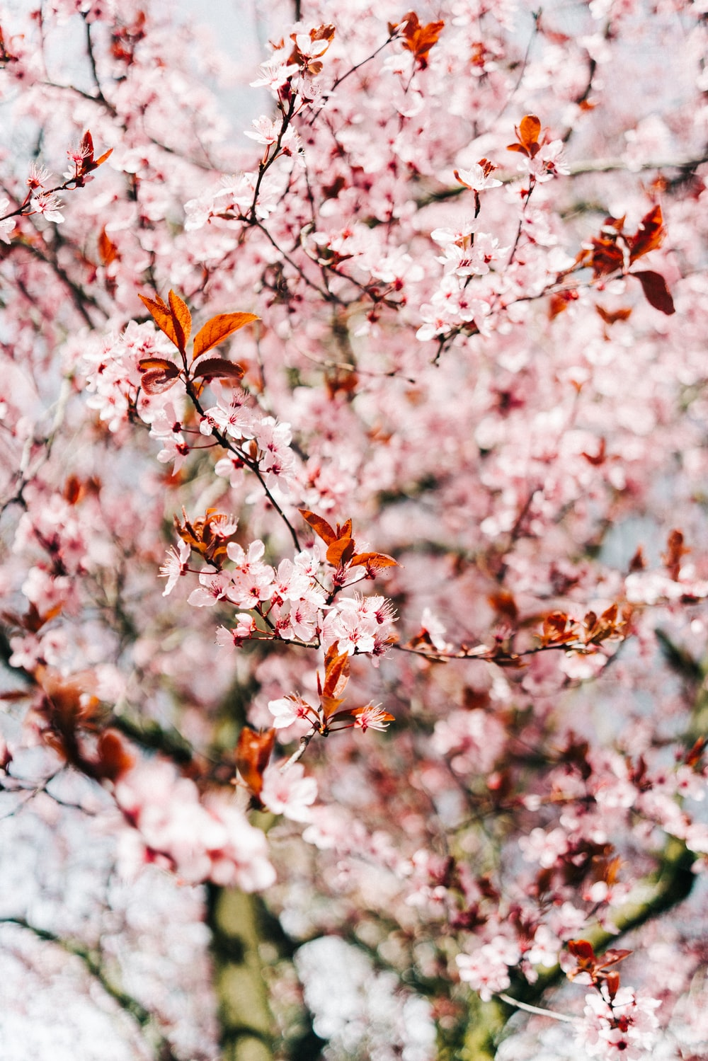 cherry blossom during daytime