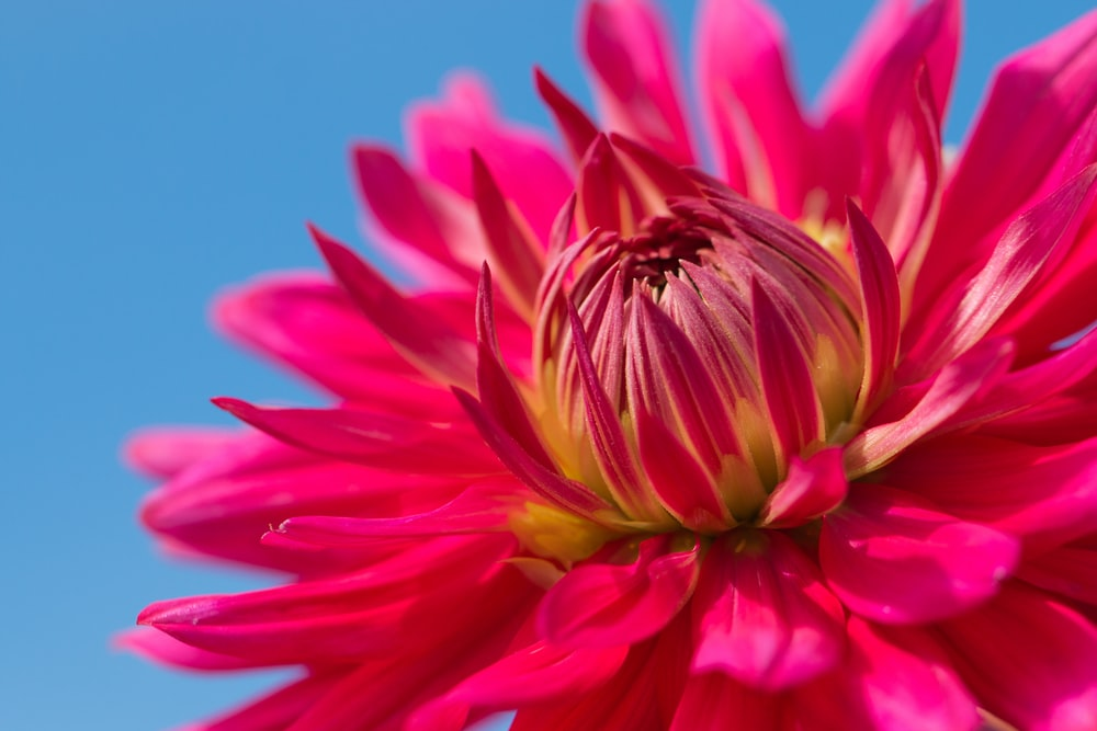 close up photography of red daisy flower