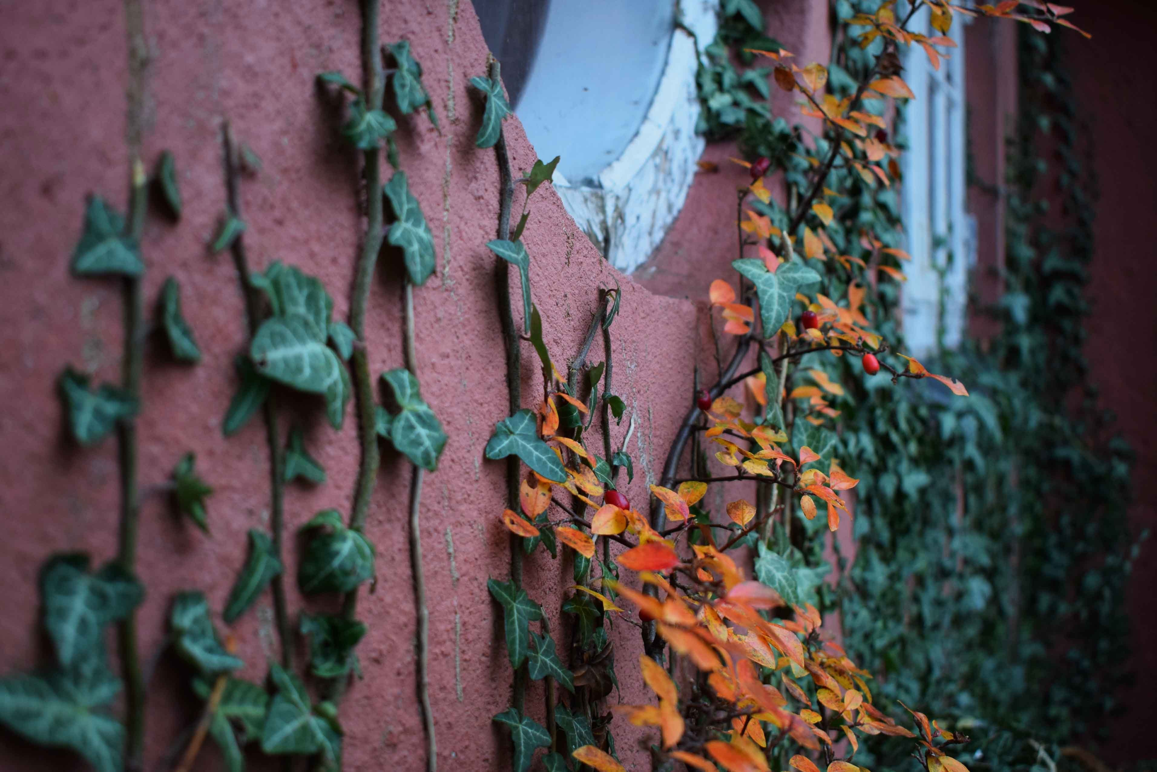green leafed vine plants crawling on brown concrete wall at daytime