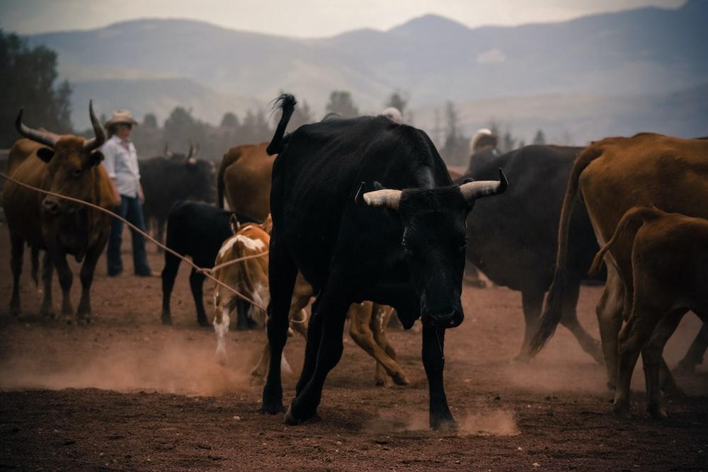 herd of brown and black bulls on brown sand