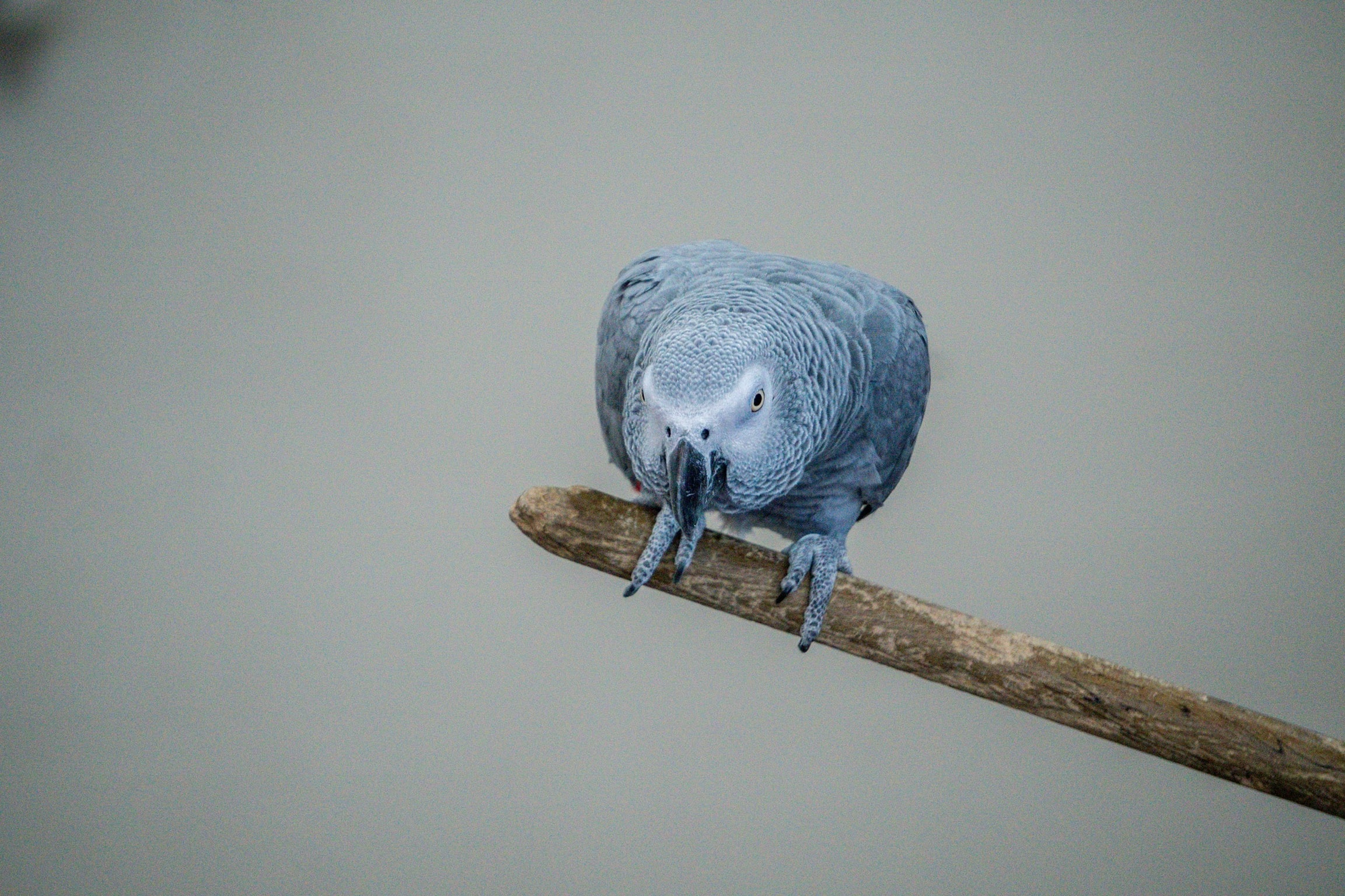 African gray parrot perched on branch