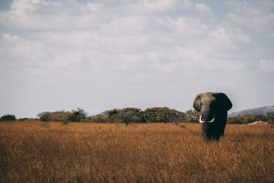 photo of gray elephant on grass wild zoom background