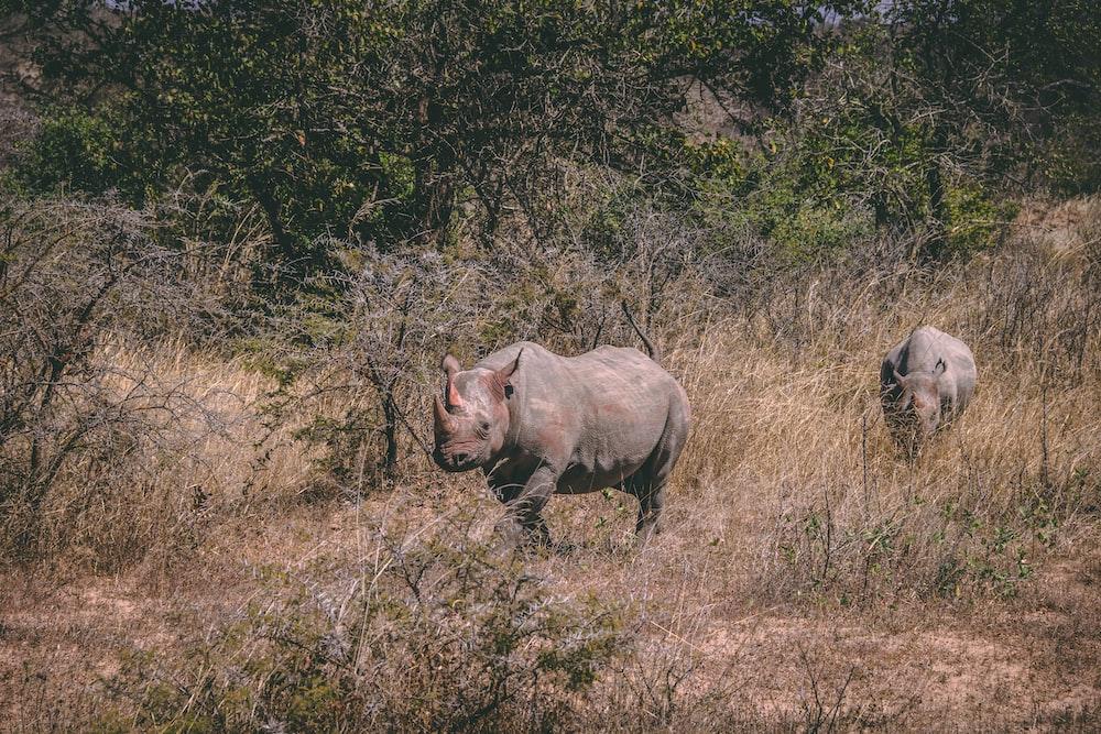 two brown rhinoceros under sunny sky