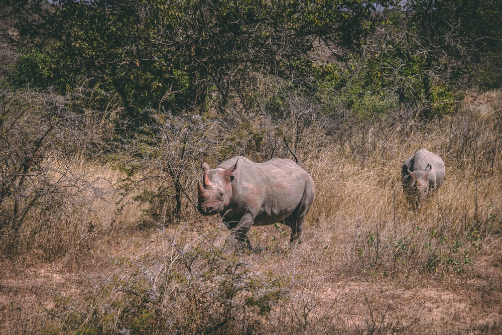 two brown rhinoceros under sunny sky