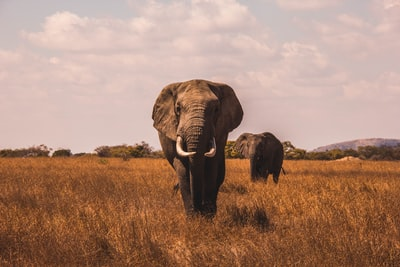 two elephants walking on grass covered ground