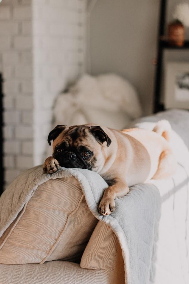 Pug sitting on a sofa