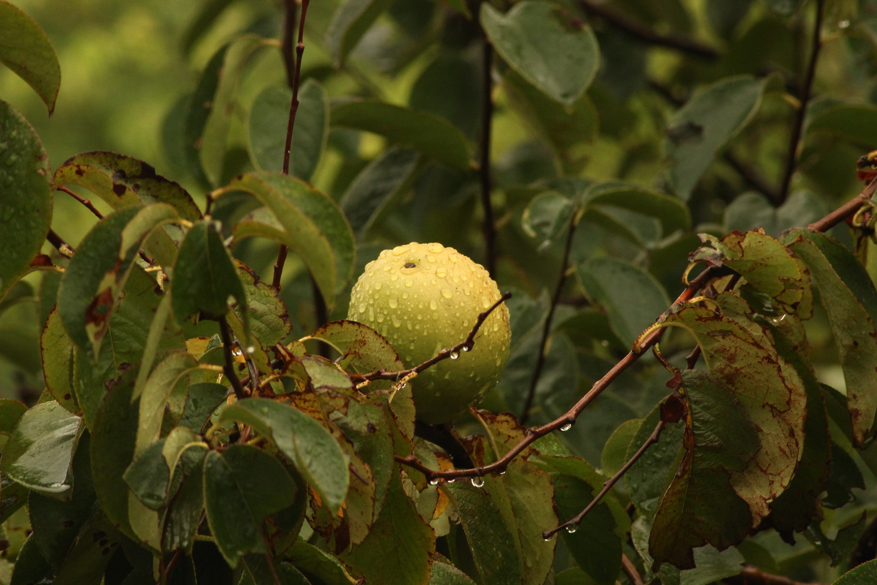 round green fruit on tree