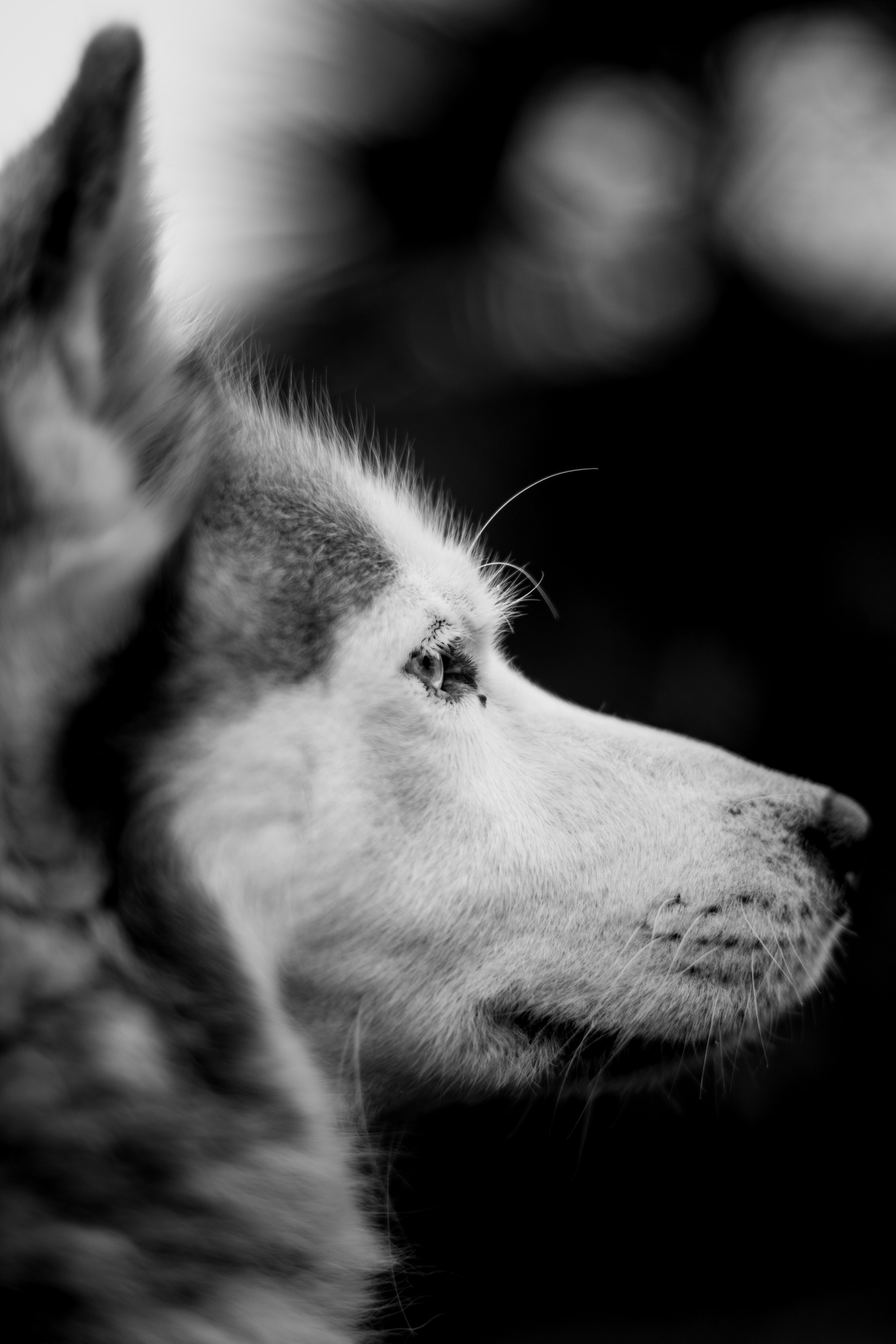 grayscale photography of wolf head