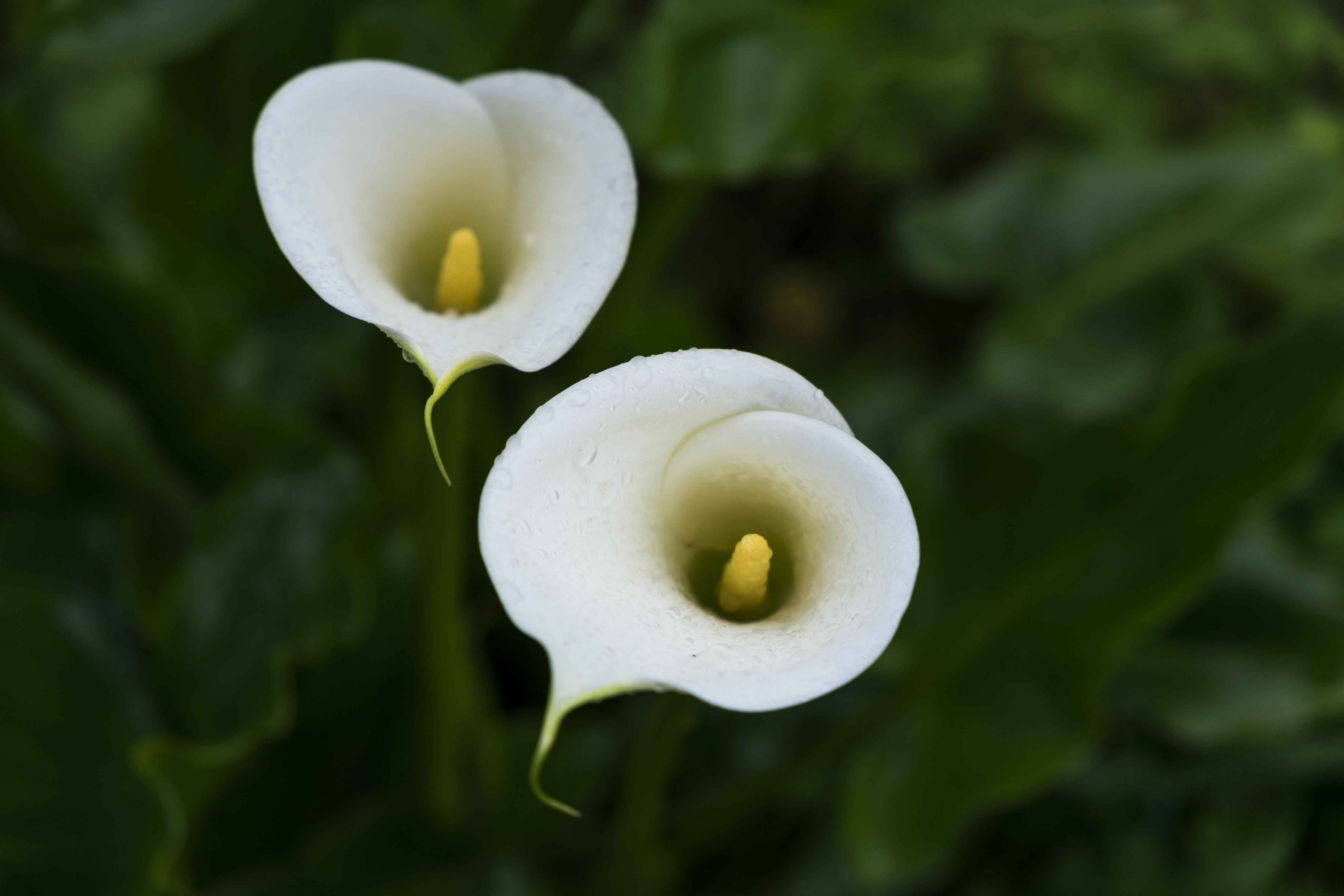 selective focus photography of white calla lily flowers