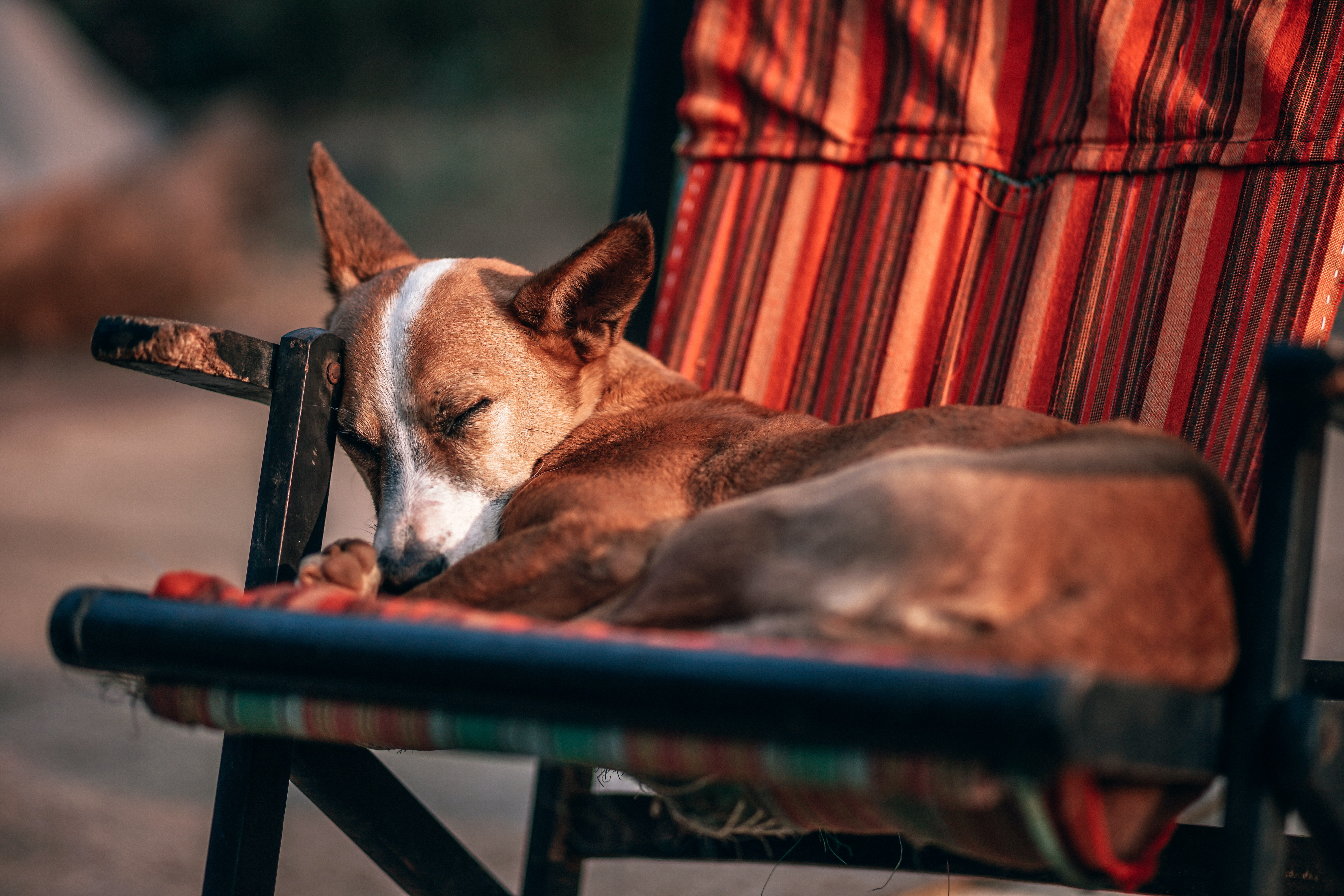 short-coated brown dog sleeping on red and black camping chair