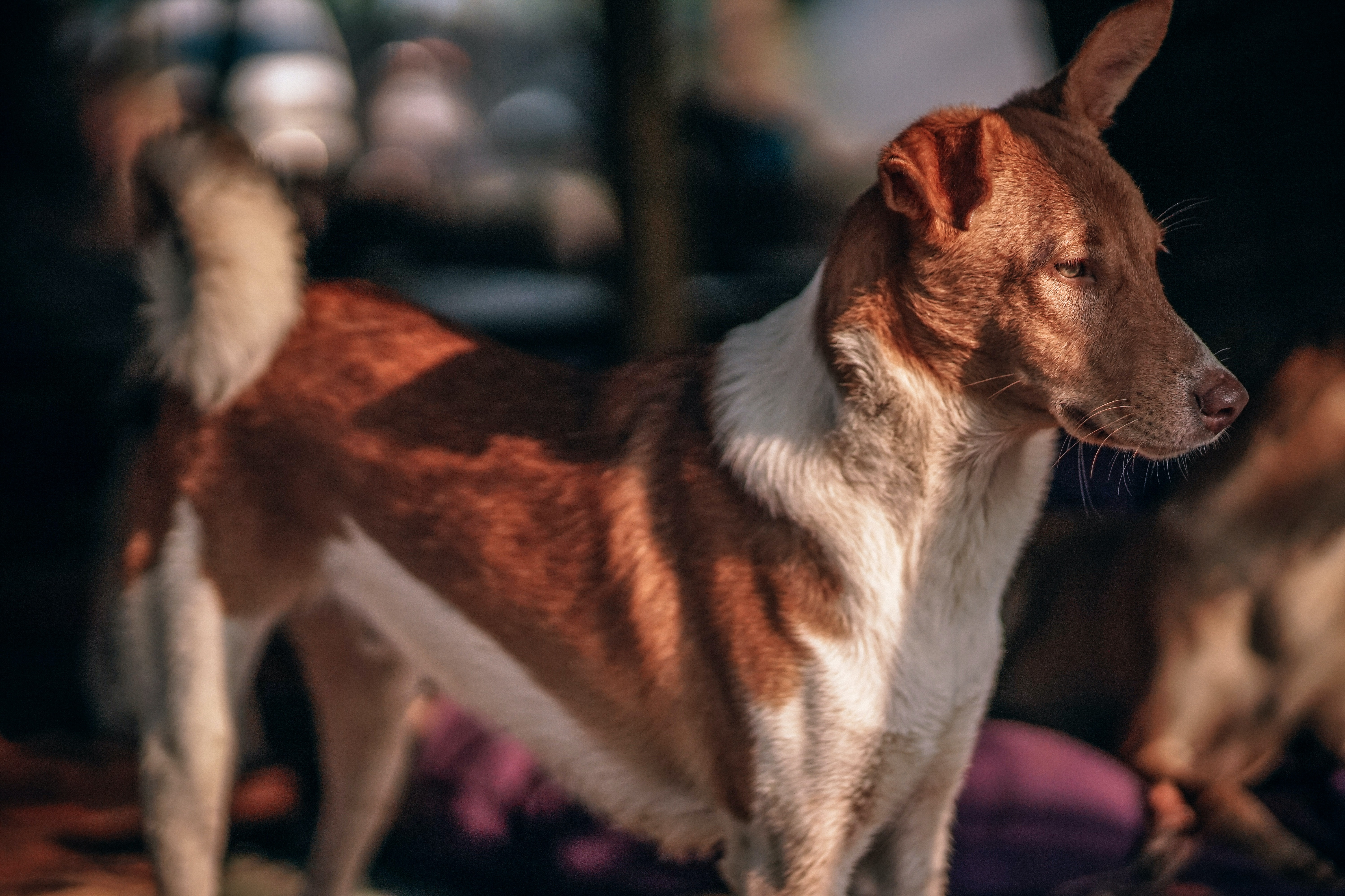 adult white and tan dog standing on pink textile selective focus photography