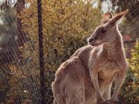 kangaroo in cage