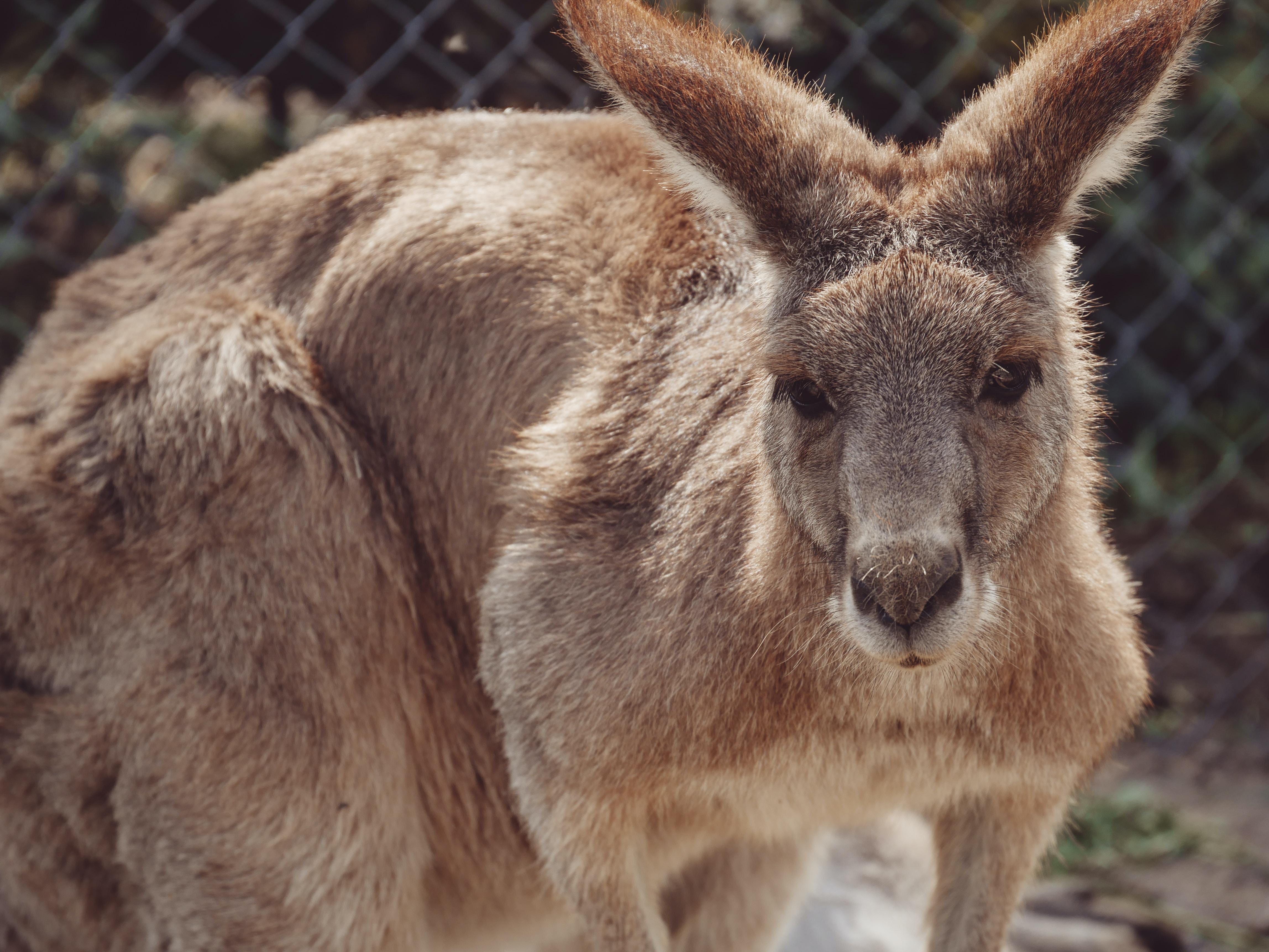 brown kangaroo