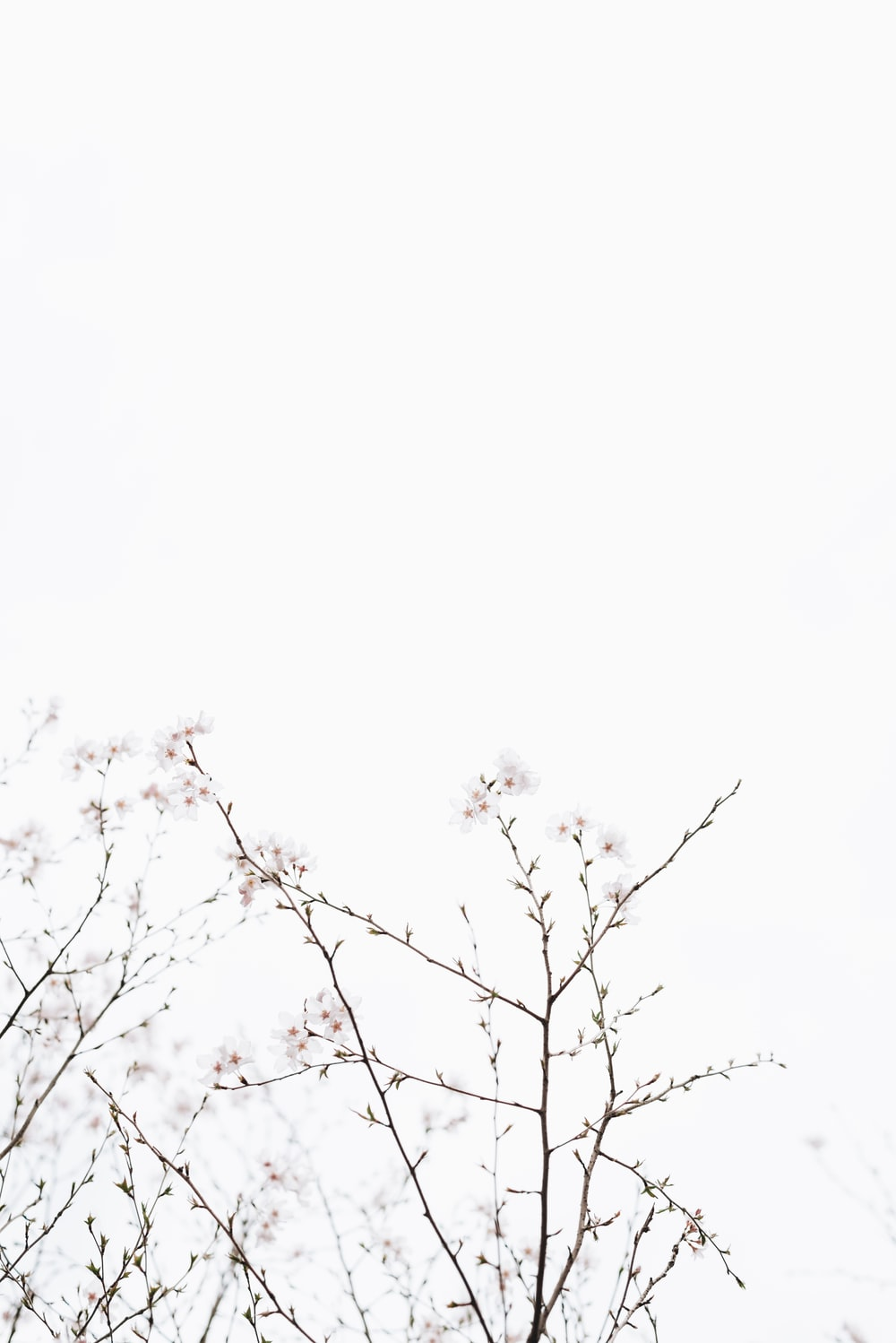 white cherry blossoms under white sky at dayime