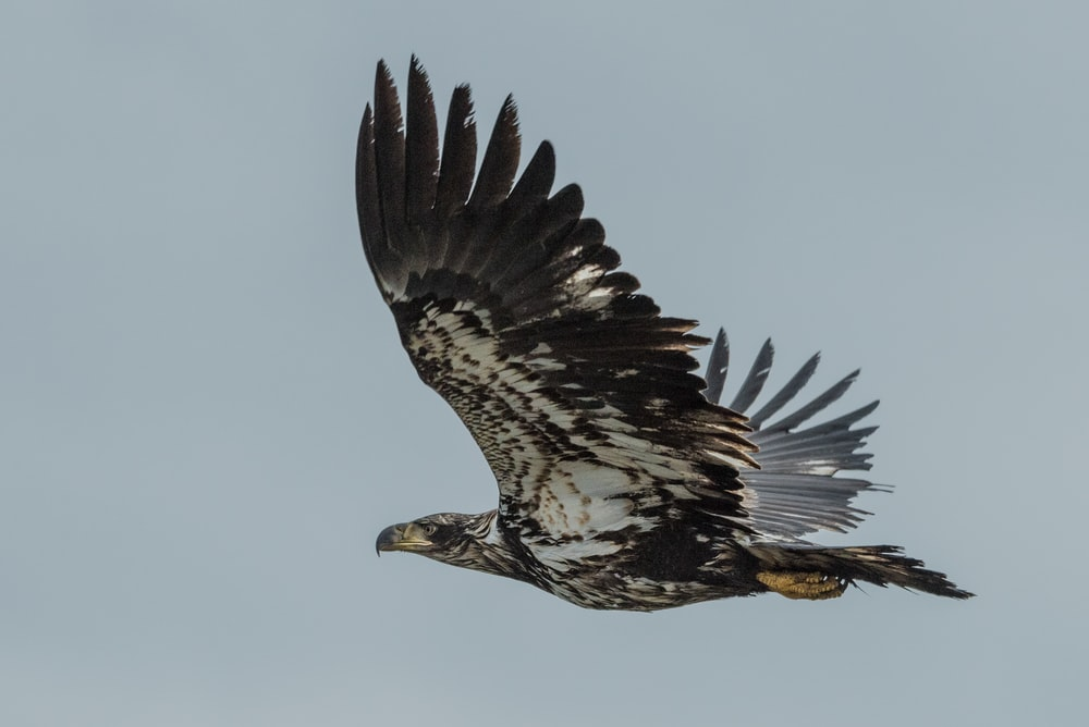 low-angle photography of flying black and white eagle