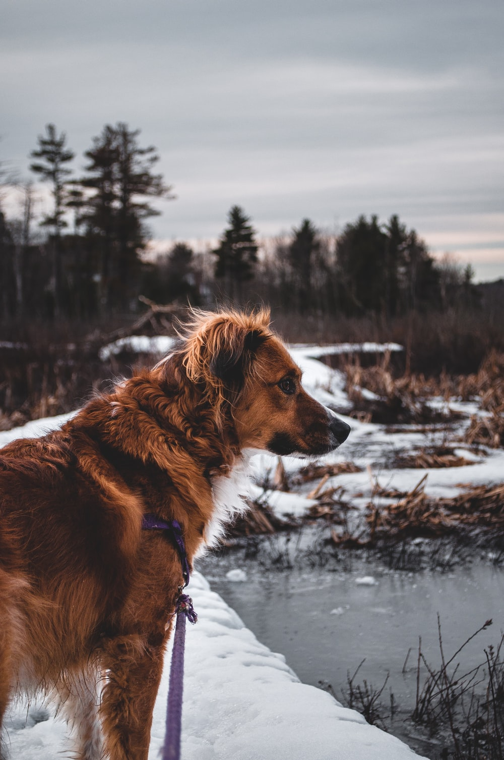 long-coated brown dog standing near body of water during winter season