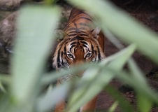 Zookeeper Mauled to Death by Tiger in Northern Ukraine
