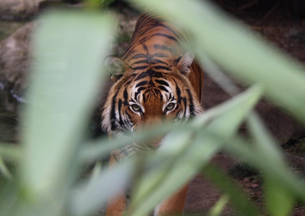 tiger walking towards on green leaf plant during daytime