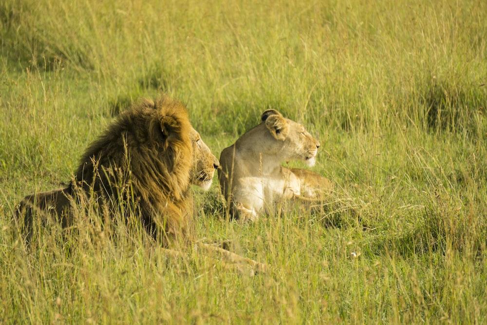 lion rest on grass field