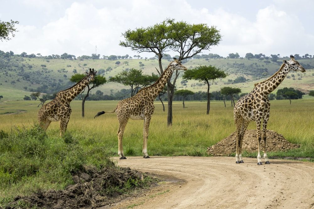 three giraffes near green grass field during daytime