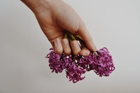 person holding pink petaled flowers