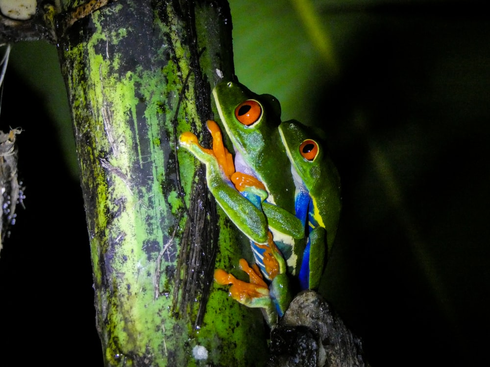 two Red-eyed tree frog