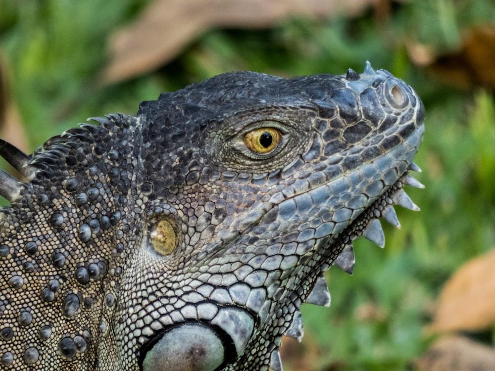 shallow focus of bearded dragon