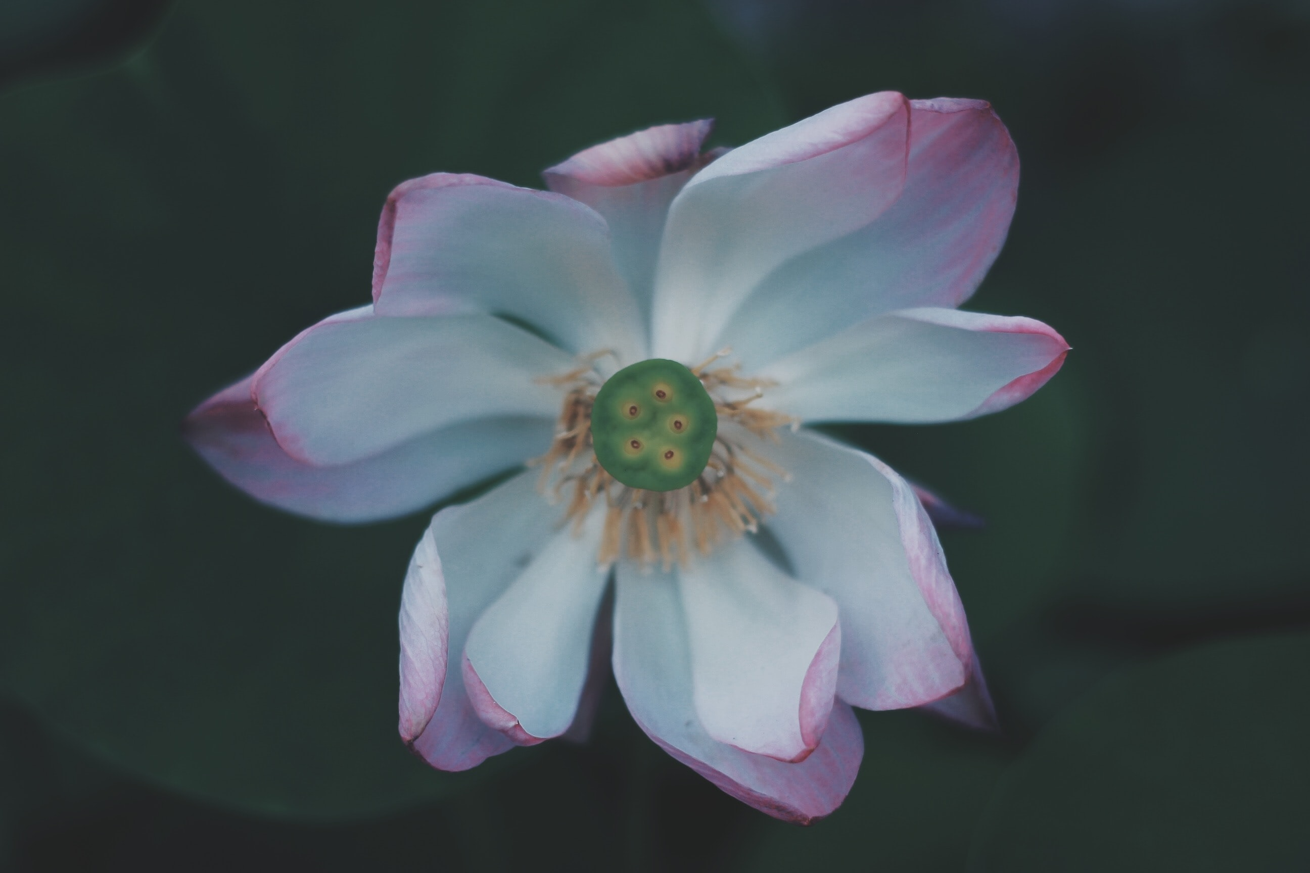 photography of white and pink petaled flower