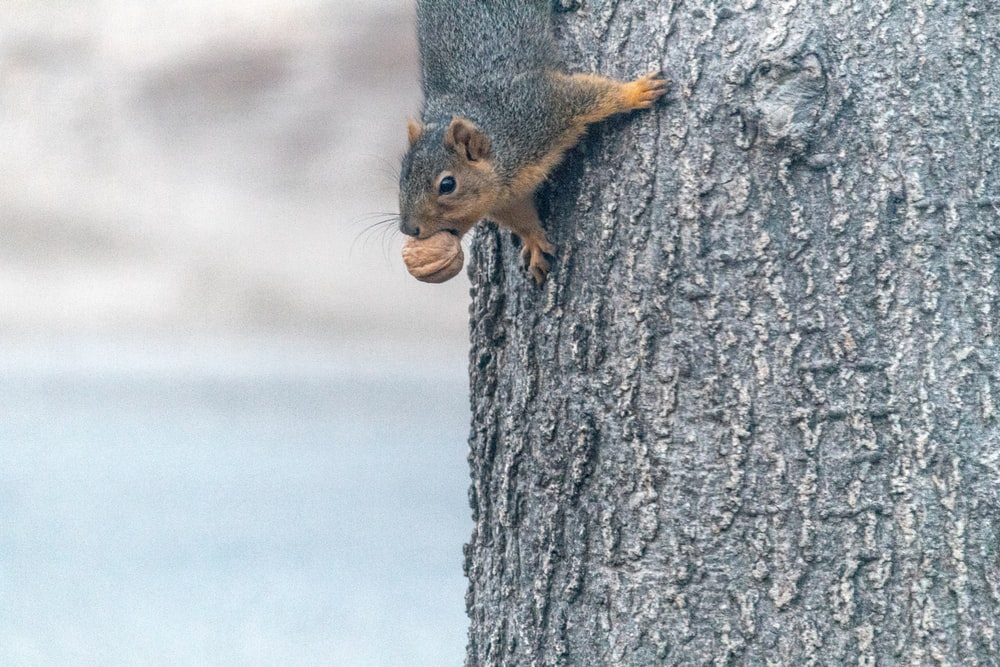 brown and black squirrel crawling on tree biting nut