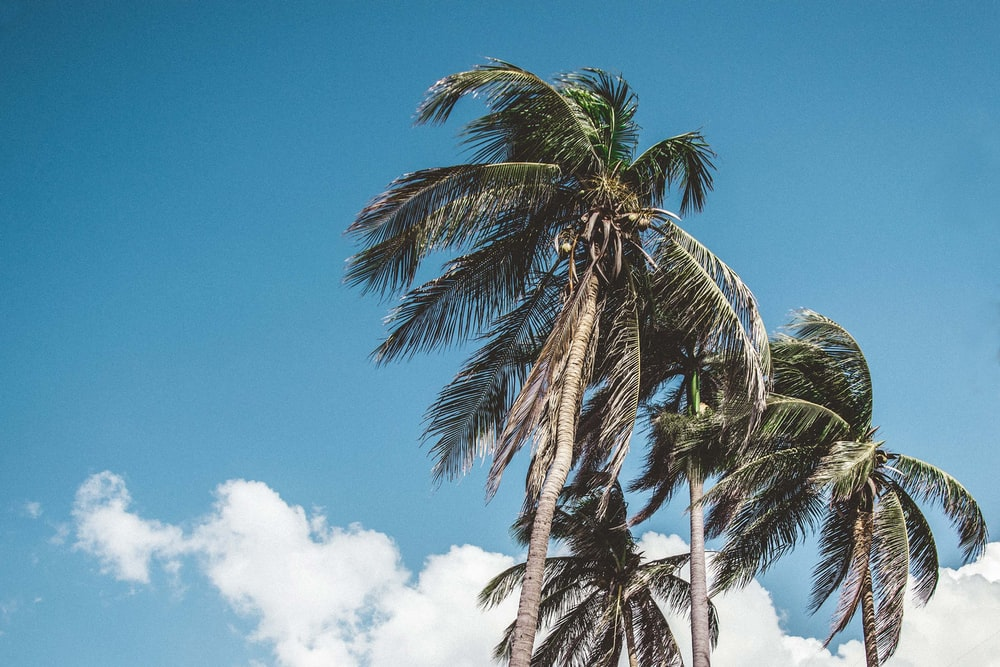 photo of coconut trees